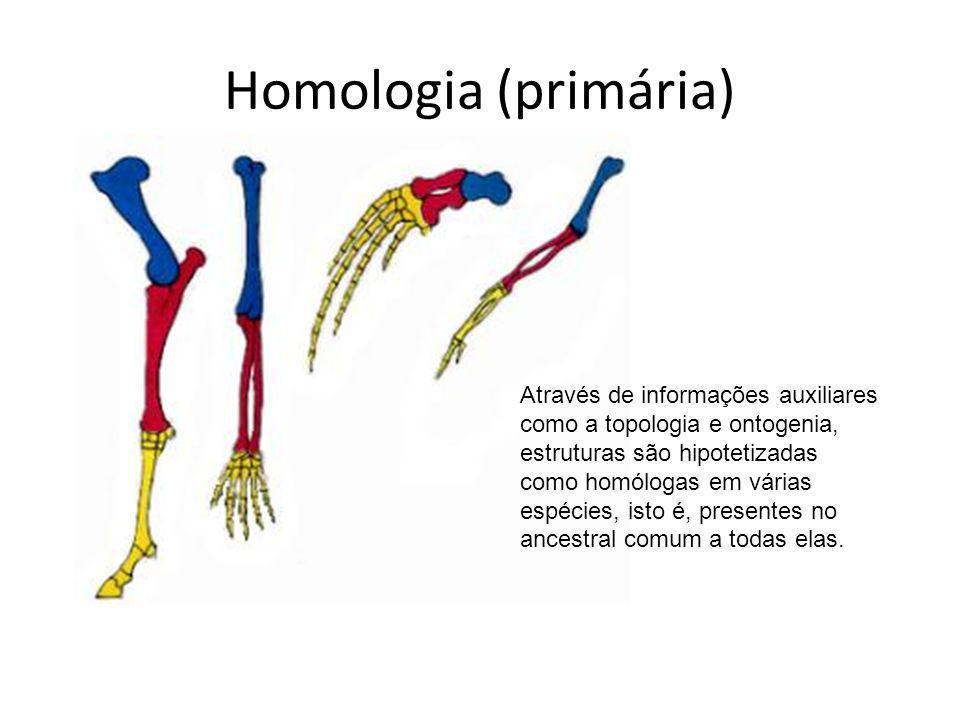 Homologia (primária) Através de informações auxiliares como a topologia e ontogenia, estruturas são hipotetizadas como homólogas em várias espécies, i
