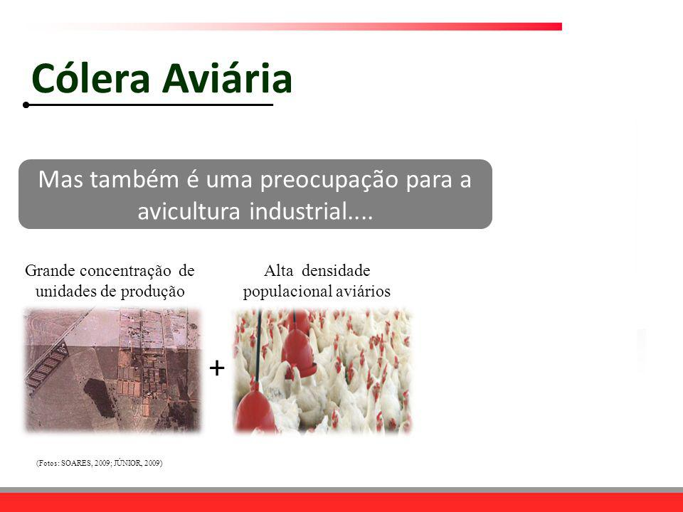 Grande concentração de unidades de produção Alta densidade populacional aviários + Mas também é uma preocupação para a avicultura industrial.... (Foto