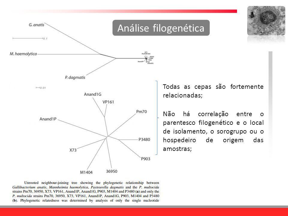 Todas as cepas são fortemente relacionadas; Análise filogenética Não há correlação entre o parentesco filogenético e o local de isolamento, o sorogrup