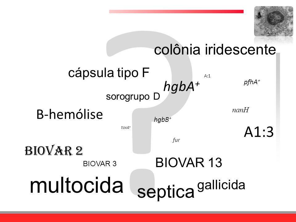 ? BIOVAR 3 BIOVAR 13 multocida septica gallicida BIOVAR 2 A:1 A1:3 sorogrupo D cápsula tipo F colônia iridescente pfhA + hgbA + toxA + hgbB + Β-hemóli