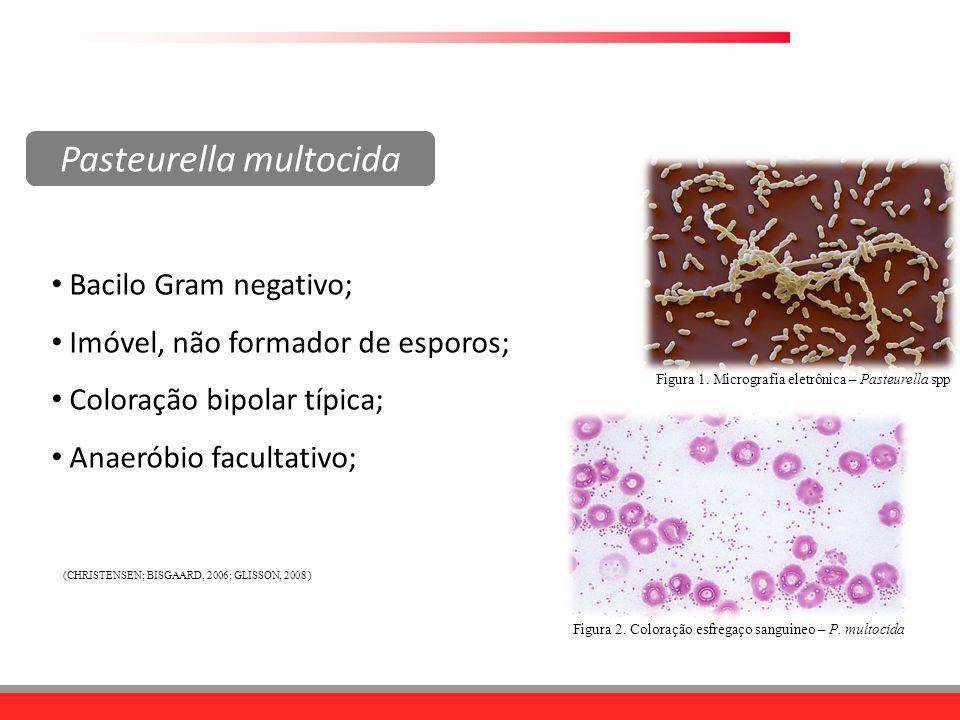 Bacilo Gram negativo; Imóvel, não formador de esporos; Coloração bipolar típica; Anaeróbio facultativo; Figura 1. Micrografia eletrônica – Pasteurella