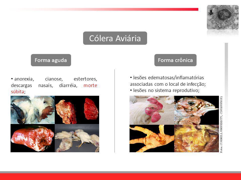 anorexia, cianose, estertores, descargas nasais, diarréia, morte súbita; petéquias, hemorragias, ausência lesões; Cólera Aviária lesões edematosas/inf