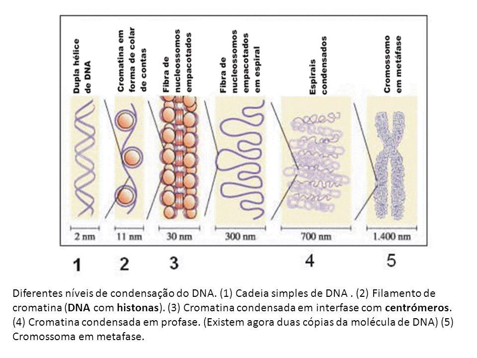 Diferentes níveis de condensação do DNA. (1) Cadeia simples de DNA. (2) Filamento de cromatina (DNA com histonas). (3) Cromatina condensada em interfa