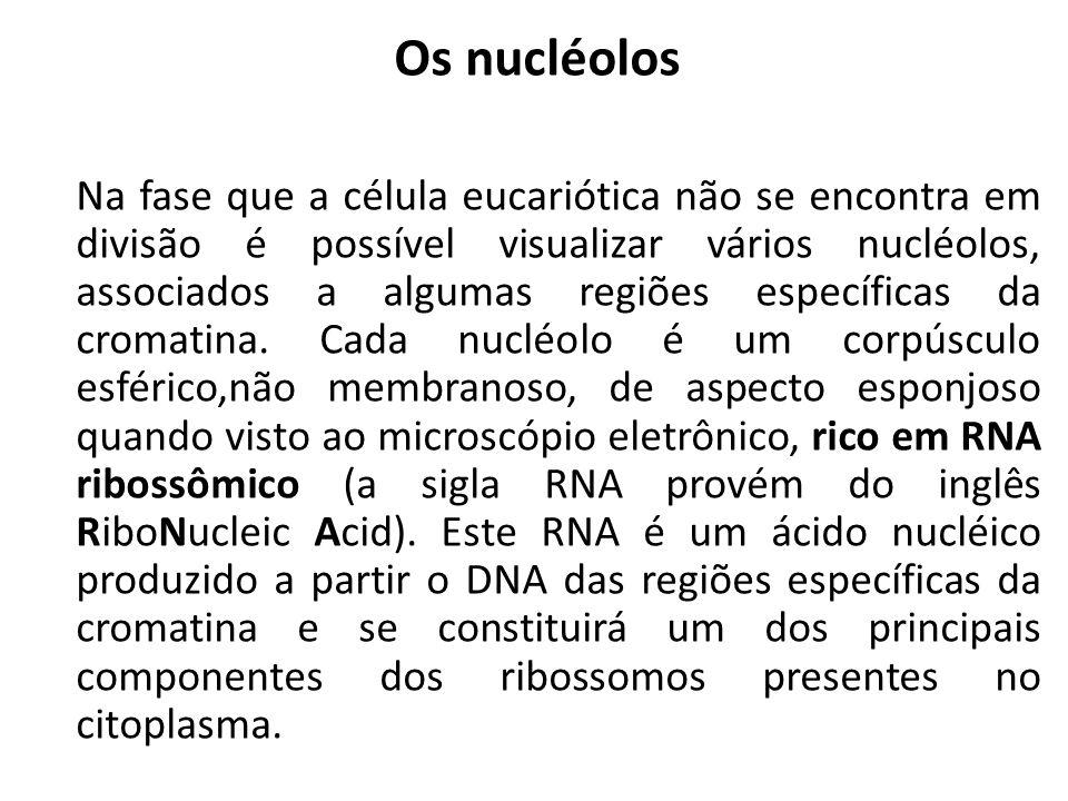 Os nucléolos Na fase que a célula eucariótica não se encontra em divisão é possível visualizar vários nucléolos, associados a algumas regiões específi
