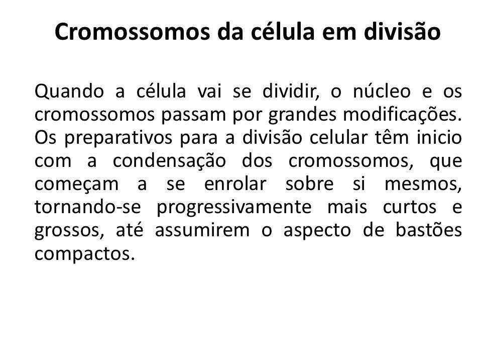 Cromossomos da célula em divisão Quando a célula vai se dividir, o núcleo e os cromossomos passam por grandes modificações. Os preparativos para a div