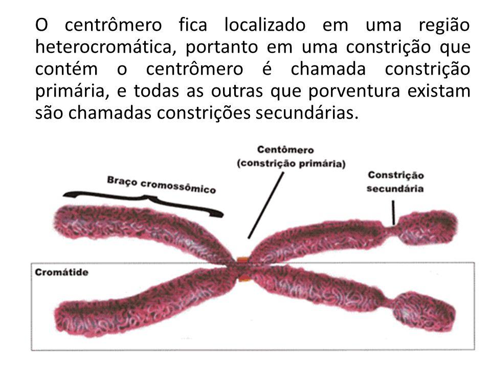 O centrômero fica localizado em uma região heterocromática, portanto em uma constrição que contém o centrômero é chamada constrição primária, e todas