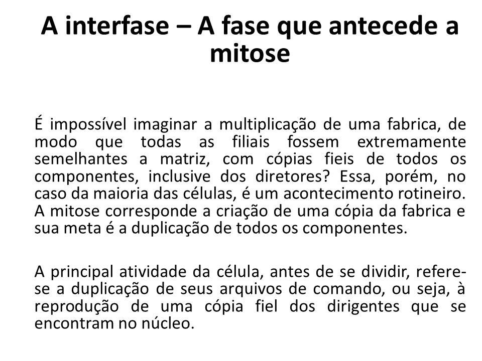 A interfase – A fase que antecede a mitose É impossível imaginar a multiplicação de uma fabrica, de modo que todas as filiais fossem extremamente seme