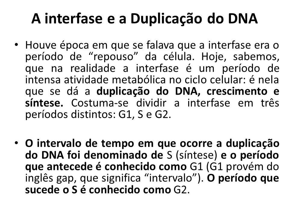 """A interfase e a Duplicação do DNA Houve época em que se falava que a interfase era o período de """"repouso"""" da célula. Hoje, sabemos, que na realidade a"""