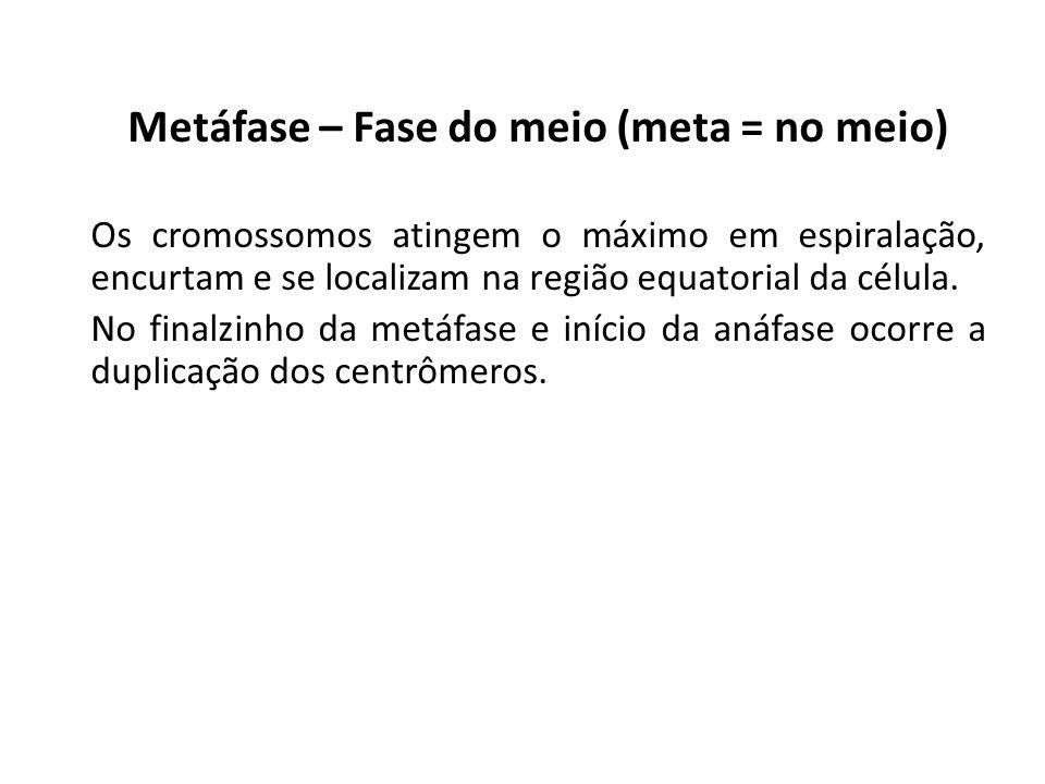 Metáfase – Fase do meio (meta = no meio) Os cromossomos atingem o máximo em espiralação, encurtam e se localizam na região equatorial da célula. No fi
