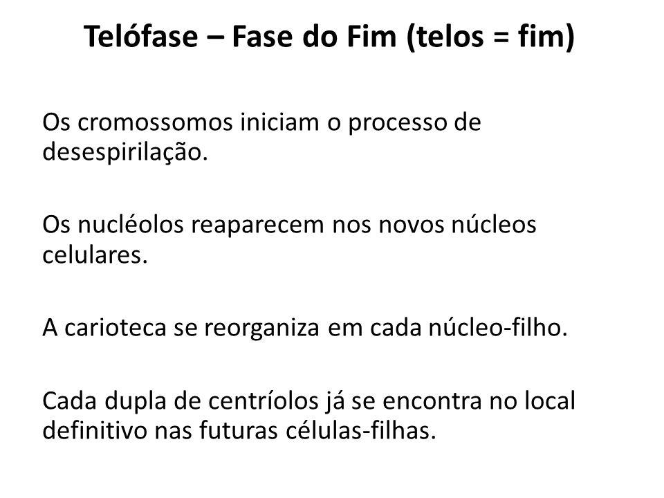 Telófase – Fase do Fim (telos = fim) Os cromossomos iniciam o processo de desespirilação. Os nucléolos reaparecem nos novos núcleos celulares. A cario