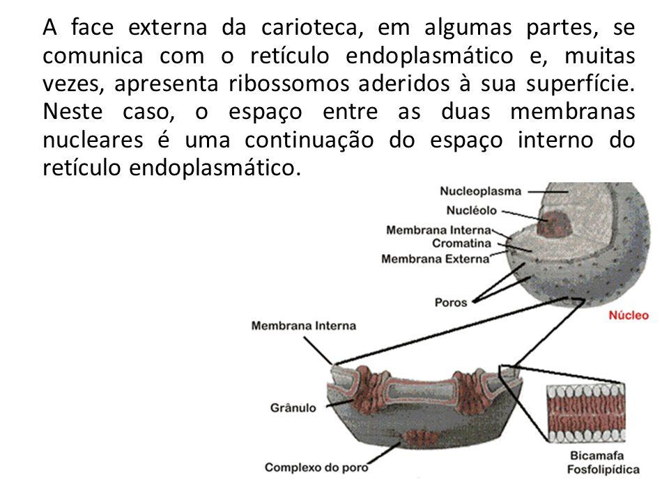 A face externa da carioteca, em algumas partes, se comunica com o retículo endoplasmático e, muitas vezes, apresenta ribossomos aderidos à sua superfí