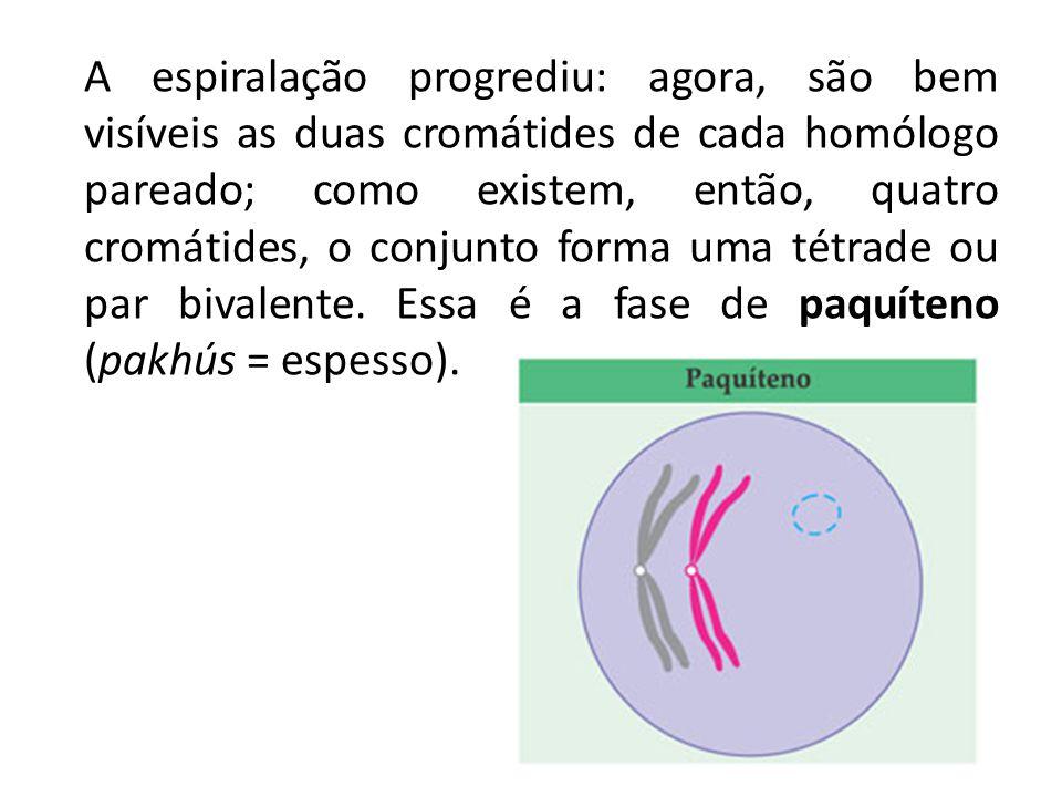 A espiralação progrediu: agora, são bem visíveis as duas cromátides de cada homólogo pareado; como existem, então, quatro cromátides, o conjunto forma