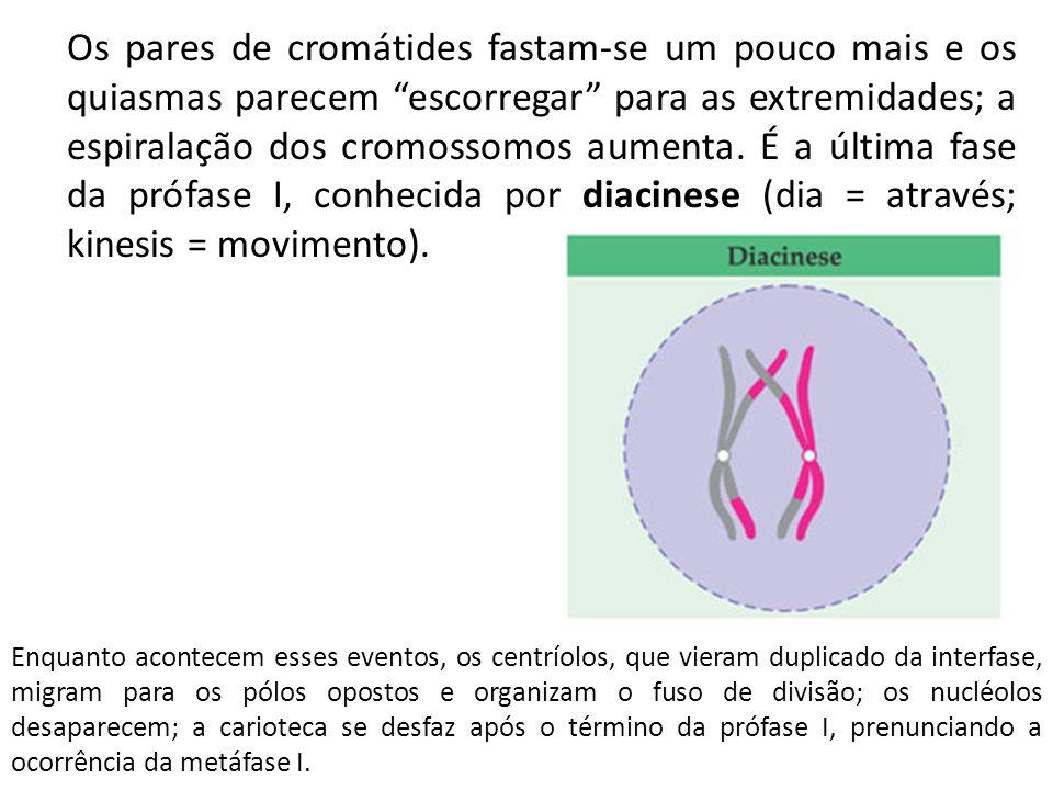 """Os pares de cromátides fastam-se um pouco mais e os quiasmas parecem """"escorregar"""" para as extremidades; a espiralação dos cromossomos aumenta. É a últ"""