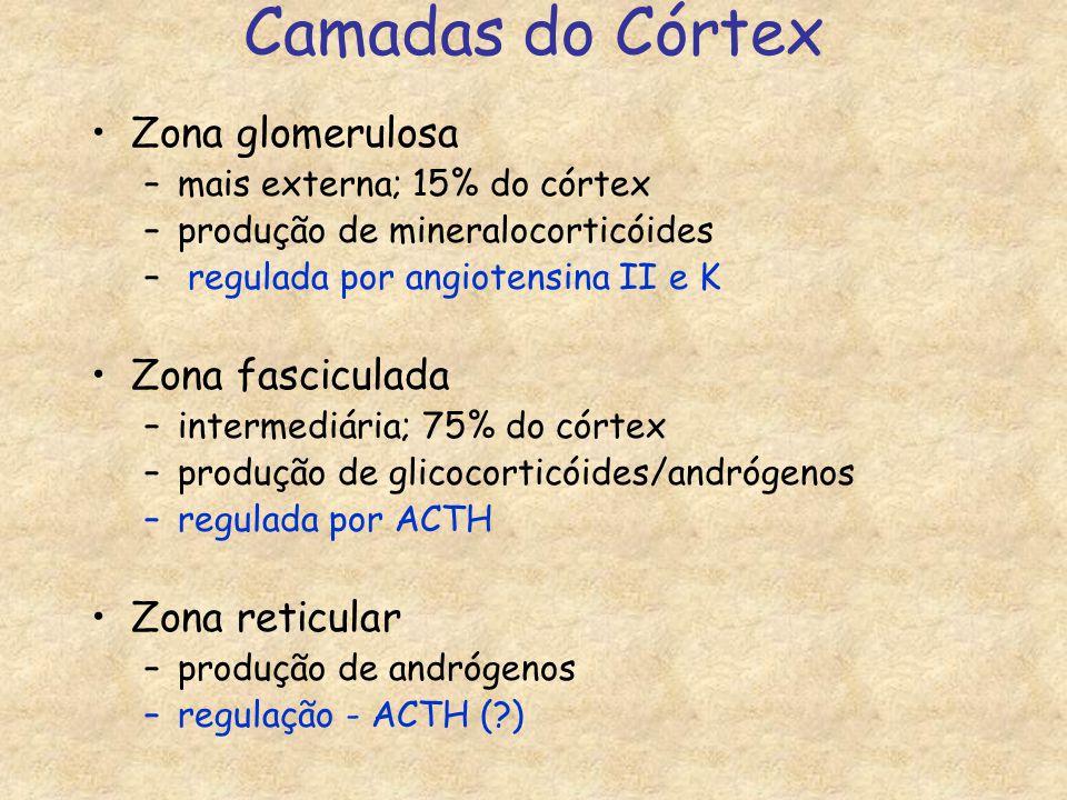 Camadas do Córtex Zona glomerulosa –mais externa; 15% do córtex –produção de mineralocorticóides – regulada por angiotensina II e K Zona fasciculada –intermediária; 75% do córtex –produção de glicocorticóides/andrógenos –regulada por ACTH Zona reticular –produção de andrógenos –regulação - ACTH (?)