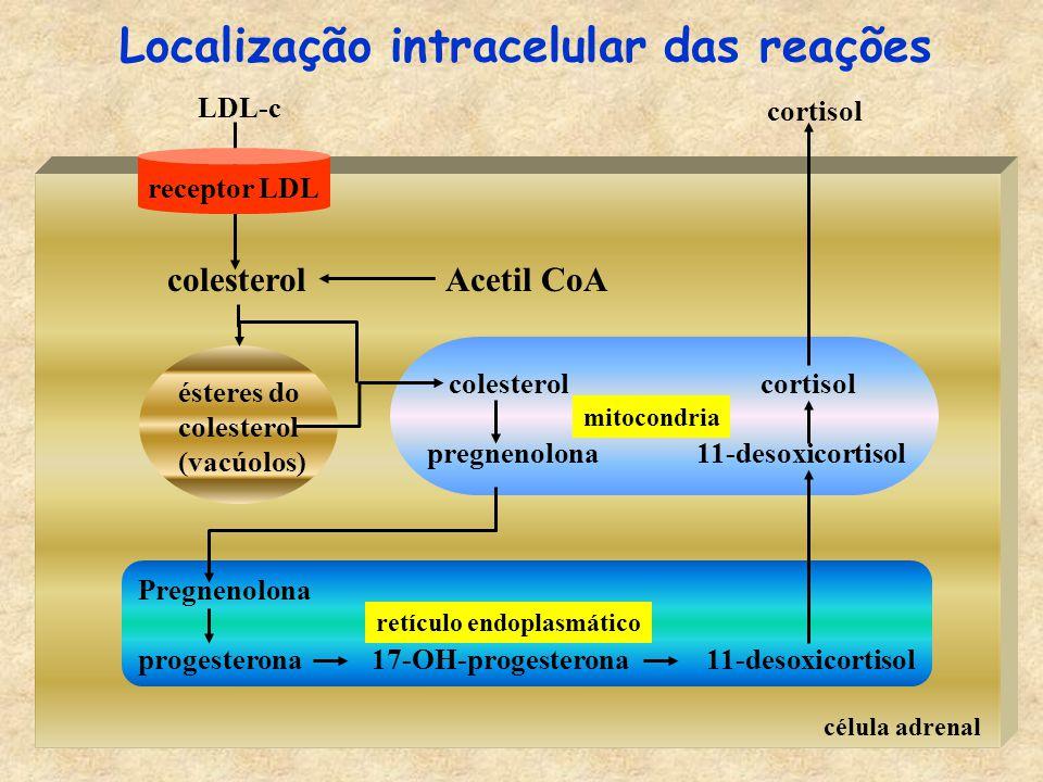 célula adrenal LDL-c colesterolAcetil CoA ésteres do colesterol (vacúolos) receptor LDL colesterol cortisol pregnenolona 11-desoxicortisol mitocondria Pregnenolona progesterona 17-OH-progesterona 11-desoxicortisol retículo endoplasmático cortisol Localização intracelular das reações