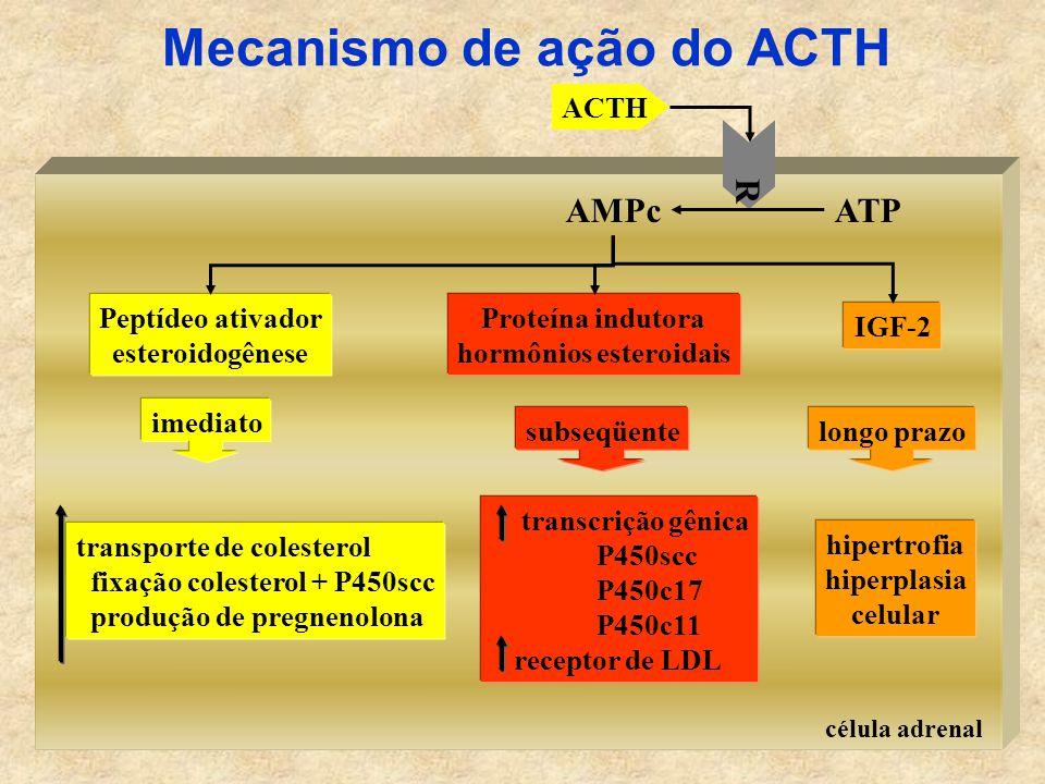 célula adrenal ACTH R ATPAMPc Peptídeo ativador esteroidogênese Proteína indutora hormônios esteroidais IGF-2 imediato subseqüentelongo prazo hipertrofia hiperplasia celular transporte de colesterol fixação colesterol + P450scc produção de pregnenolona transcrição gênica P450scc P450c17 P450c11 receptor de LDL Mecanismo de ação do ACTH