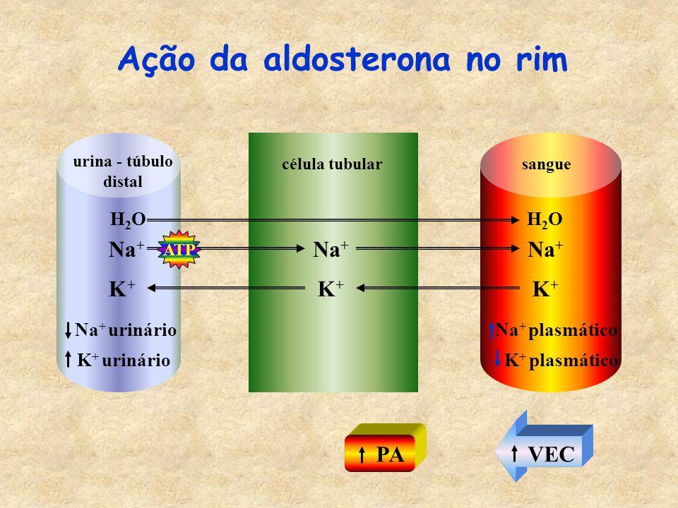 Na + K+K+ sangue H2OH2O Na + K+K+ urina - túbulo distal H2OH2O Ação da aldosterona no rim Na + K+K+ célula tubular Na + urinário K + urinário Na + plasmático K + plasmático VEC PA ATP
