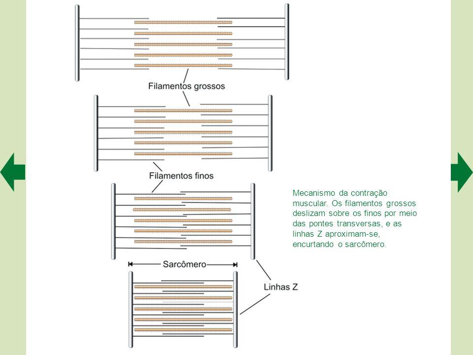 """O acoplamento entre a excitação e a contração tem lugar na tríade (quadro em A), onde o túbulo T """"toca"""" o retículo sarcoplasmático (ampliado em B). É"""