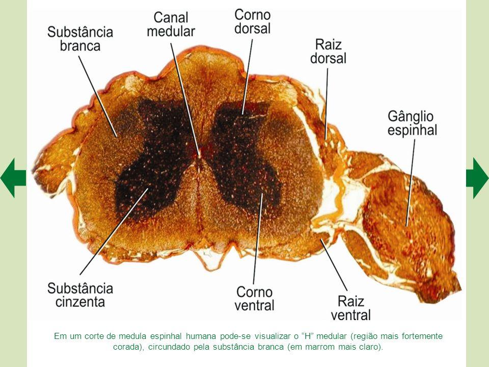 A medula, representada esquematicamente à esquerda, em A, apresenta duas intumescências (cervical e lombar). Nelas há mais neurônios, e por isso a sub