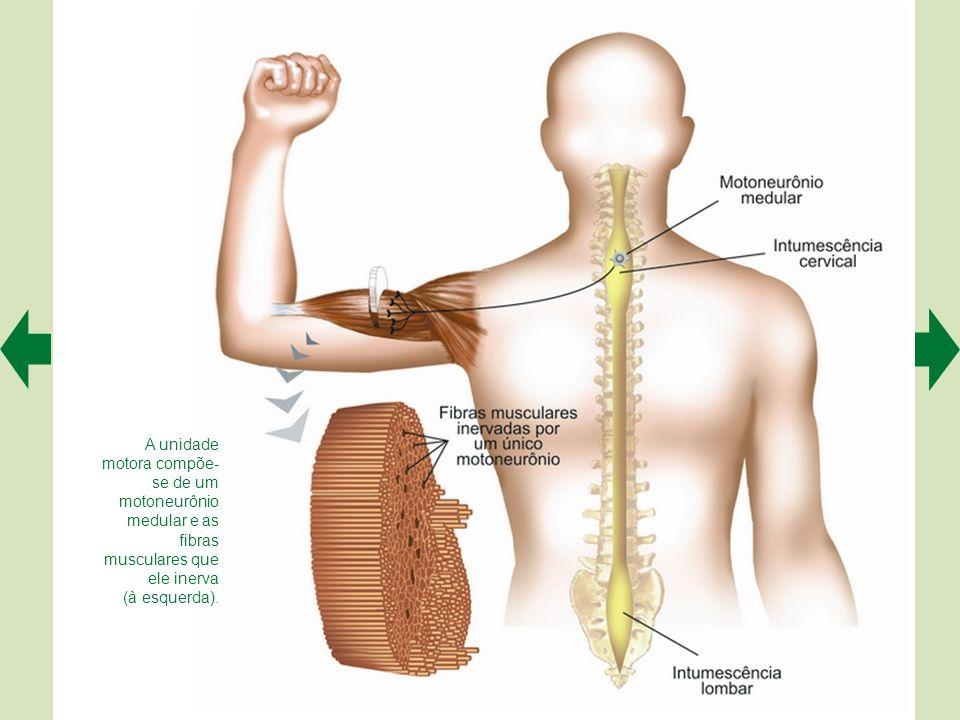 """Em um corte de medula espinhal humana pode-se visualizar o """"H"""" medular (região mais fortemente corada), circundado pela substância branca (em marrom m"""