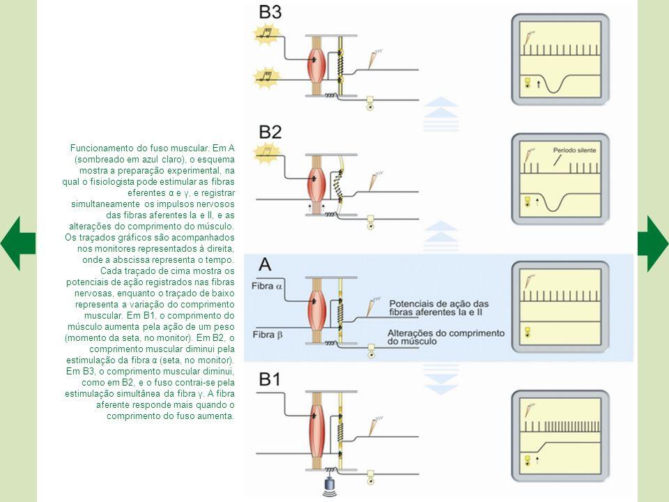 Os fusos musculares ficam inseridos no interior do músculo (quadro), sendo inervados por fibras aferentes (sensoriais) e eferentes (motoras). As prime