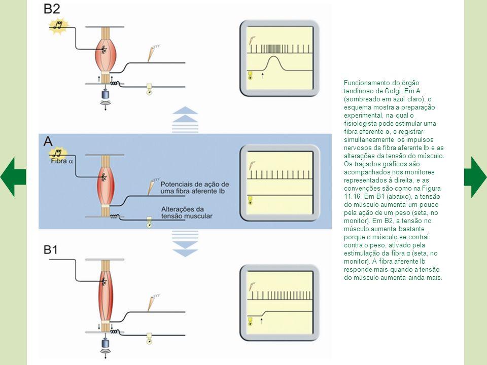 O órgão tendinoso de Golgi fica inserido na transição entre o músculo e o tendão (pequeno quadro bem à esquerda). É um órgão encapsulado com fibras co