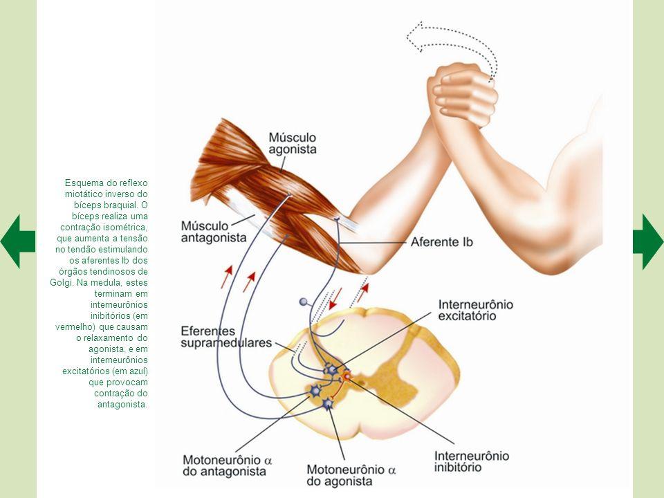 Esquema do reflexo patelar e seu circuito. A percussão provoca um estiramento do músculo agonista, que estimula os aferentes dos fusos musculares. Na