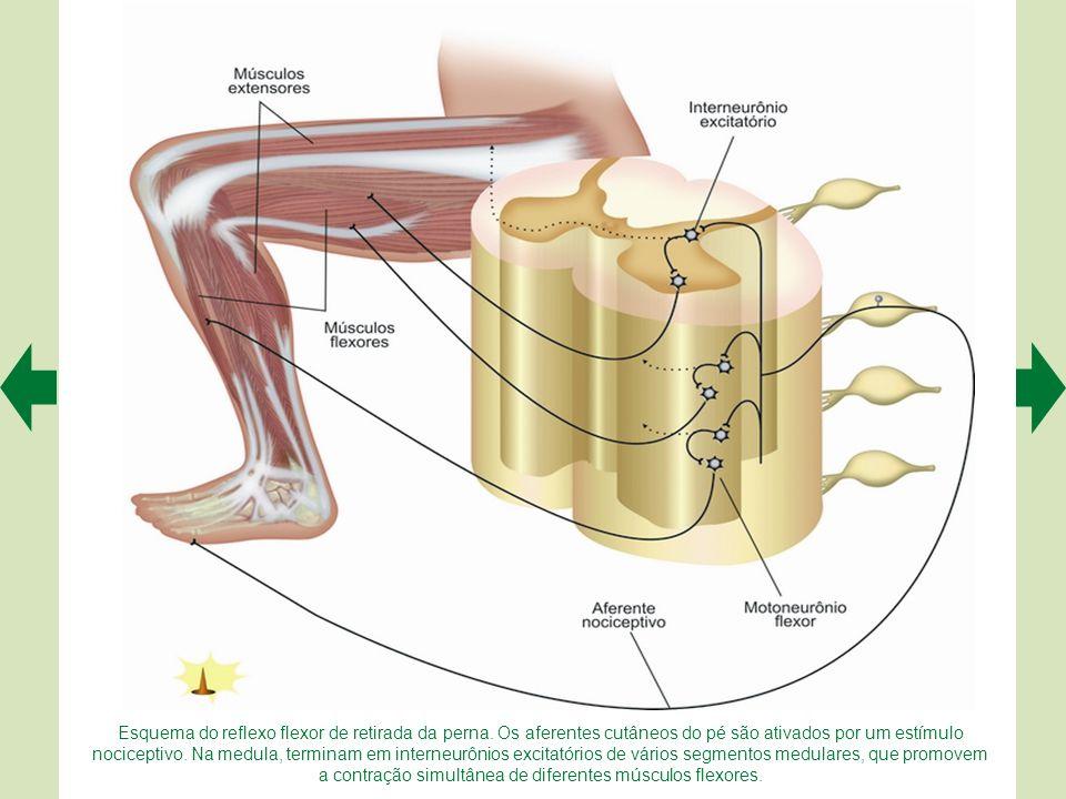 Esquema do reflexo miotático inverso do bíceps braquial. O bíceps realiza uma contração isométrica, que aumenta a tensão no tendão estimulando os afer
