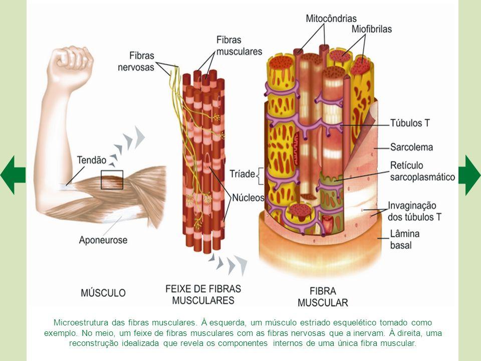 Estrutura microscópica do músculo estriado esquelético. A representa um corte histológico transversal de músculo estriado esquelético, mostrando as fi