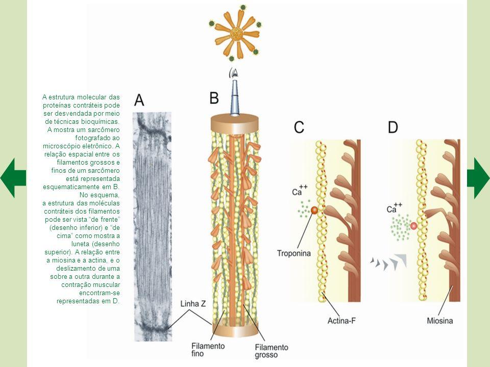 O microscópio eletrônico revela a organização ultraestrutural das fibras musculares esqueléticas. A e B permitem visualizar os filamentos contráteis e