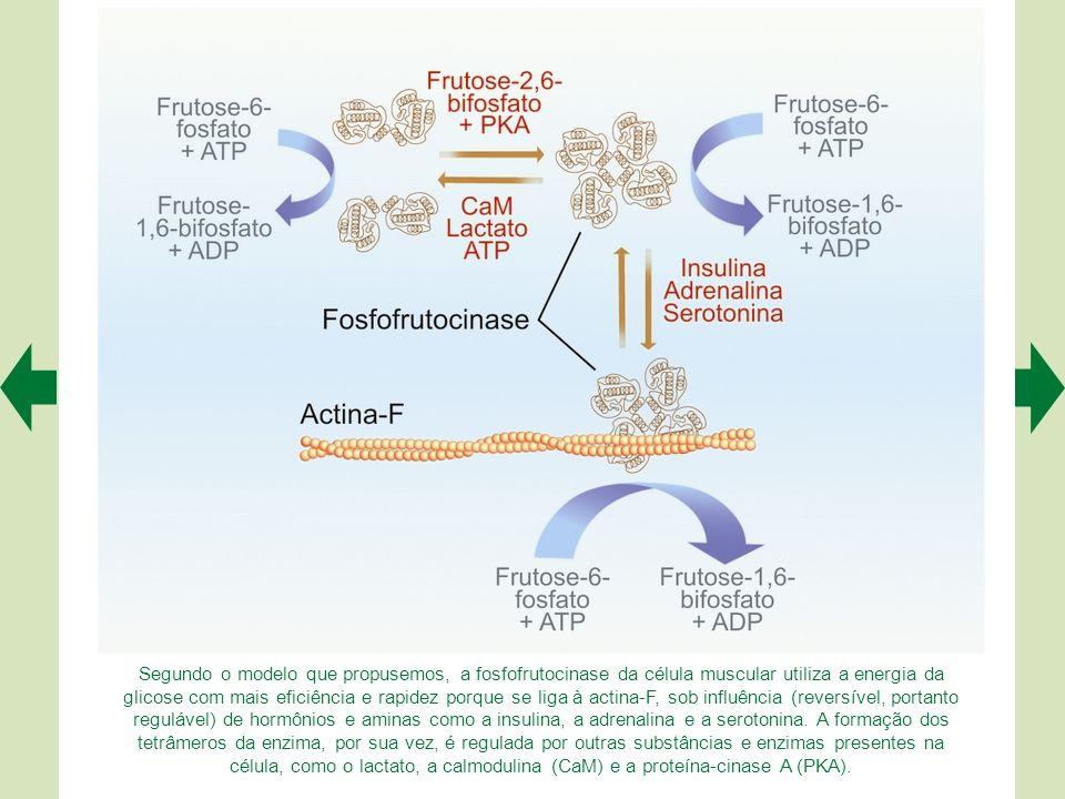 Fluxograma descrevendo as principais etapas fisiológicas e moleculares da contração muscular, desde a chegada dos potenciais de ação nos terminais axô