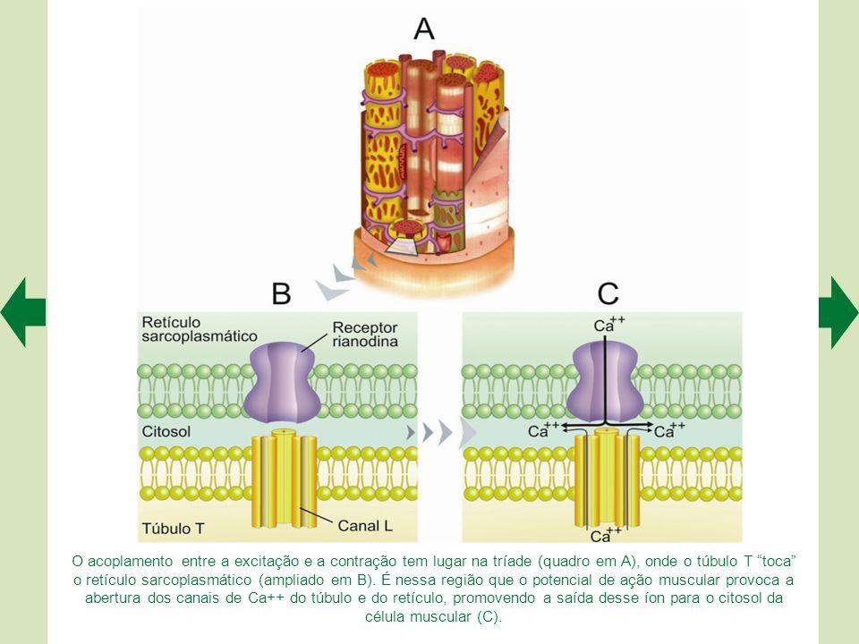 Segundo o modelo que propusemos, a fosfofrutocinase da célula muscular utiliza a energia da glicose com mais eficiência e rapidez porque se liga à act