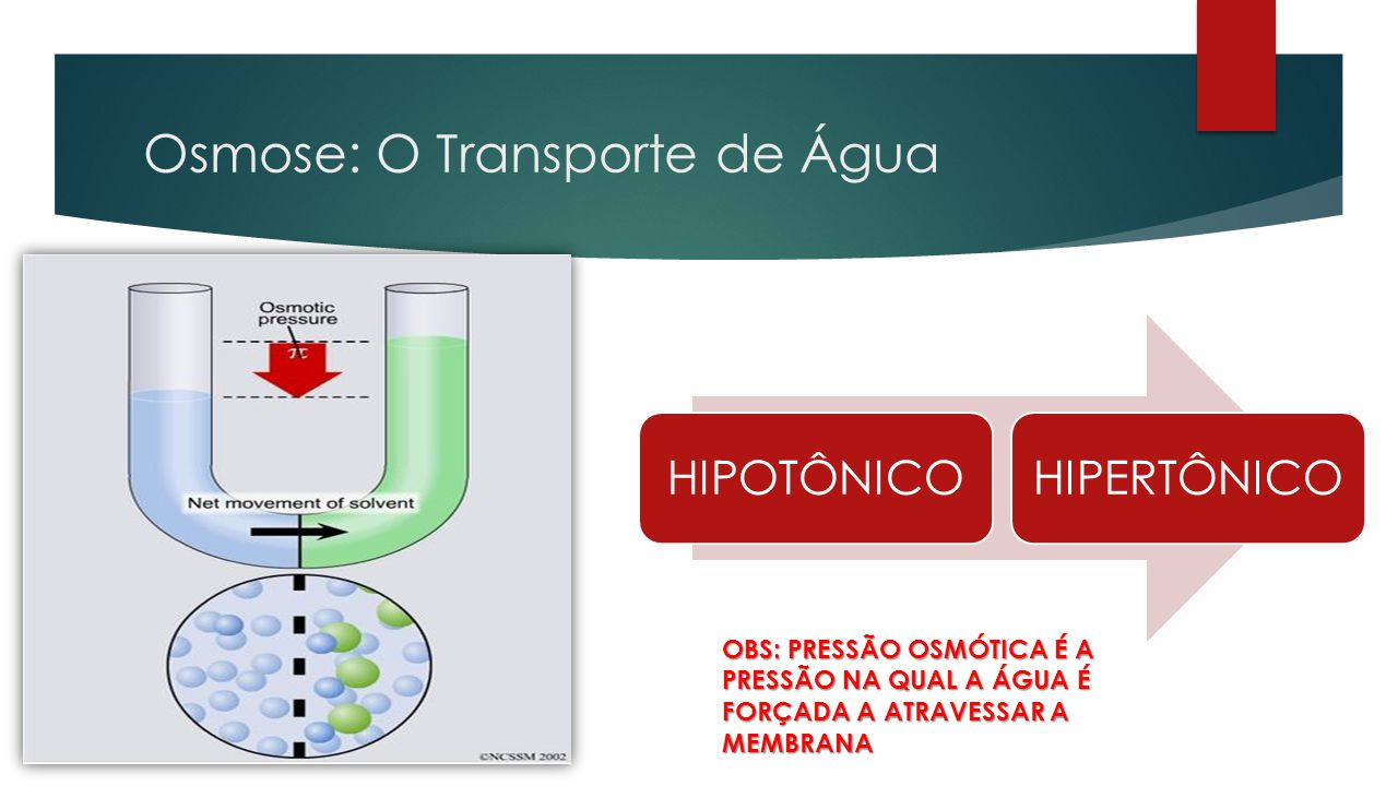 Osmose: O Transporte de Água  Movimento de SOLVENTE (água) quando existe diferença de concentração entre dois meios  HIPERTÔNICO: MAIOR PRESSÃO OSMÓ