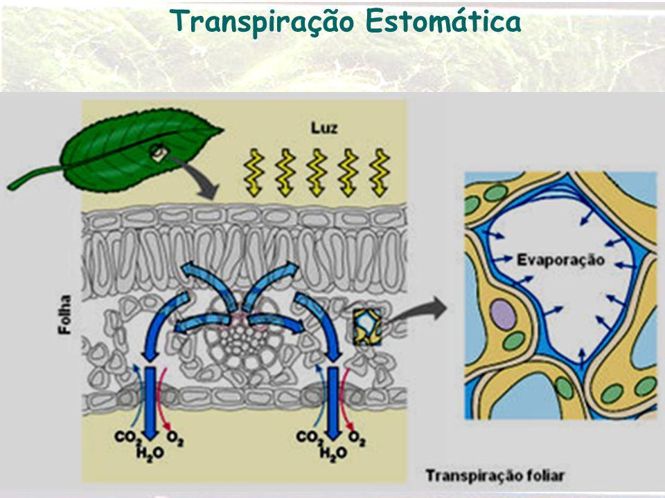 Transpiração Estomática