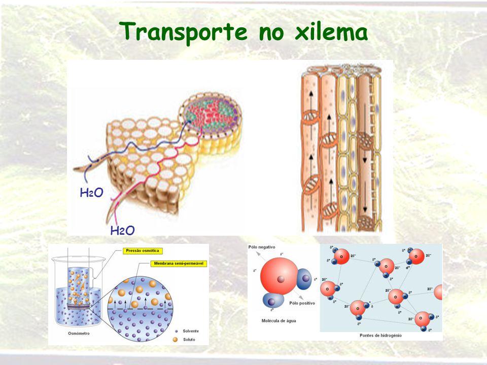 Transporte no xilema H2OH2O H2OH2O