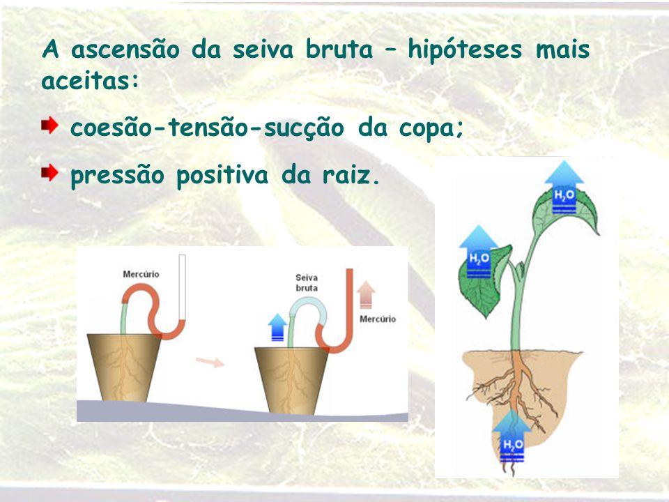 A ascensão da seiva bruta – hipóteses mais aceitas: coesão-tensão-sucção da copa; pressão positiva da raiz.