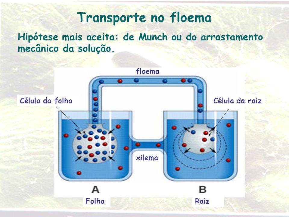 Transporte no floema Hipótese mais aceita: de Munch ou do arrastamento mecânico da solução. xilema floema Célula da raizCélula da folha RaizFolha