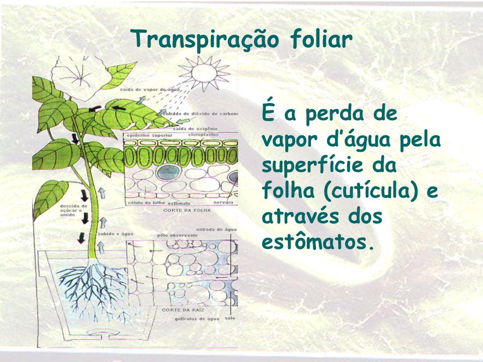 Transpiração foliar É a perda de vapor d'água pela superfície da folha (cutícula) e através dos estômatos.