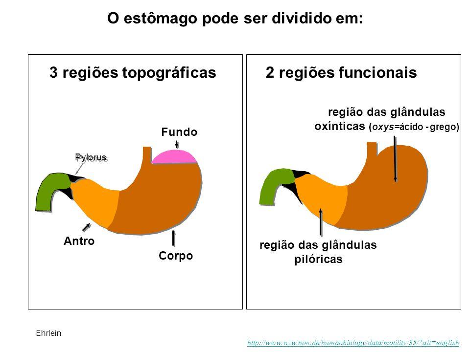 O estômago pode ser dividido em: Pylorus Ehrlein http://www.wzw.tum.de/humanbiology/data/motility/35/?alt=english 3 regiões topográficas2 regiões func