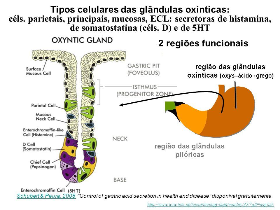 Tipos celulares das glândulas oxínticas : céls. parietais, principais, mucosas, ECL: secretoras de histamina, de somatostatina (céls. D) e de 5HT http