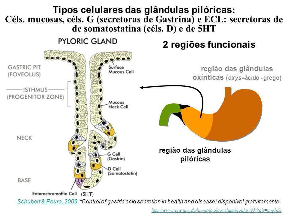 http://www.wzw.tum.de/humanbiology/data/motility/35/?alt=english 2 regiões funcionais região das glândulas oxínticas ( oxys=ácido - grego) região das