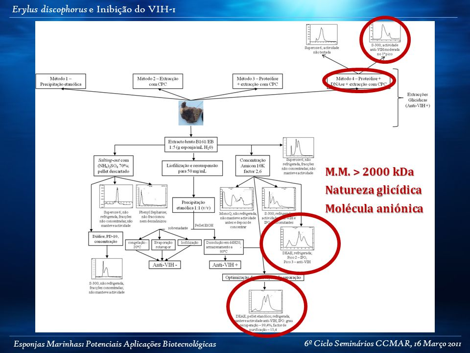 Esponjas Marinhas: Potenciais Aplicações Biotecnológicas Erylus discophorus e Inibição do VIH-1 Molécula aniónica Natureza glicídica M.M. > 2000 kDa 6