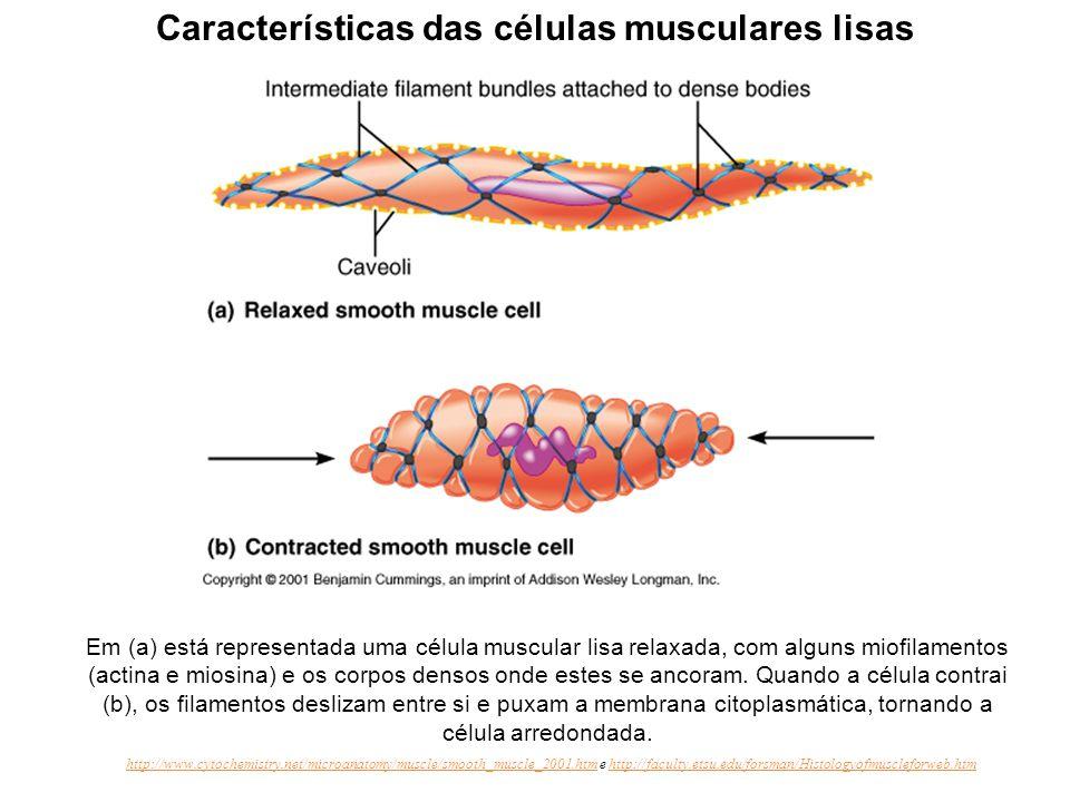 Organização aparente do citoesqueleto e miofilamentos do músculo liso. Pequenos elementos contráteis, funcionalmente equivalentes ao sarcômero, fundam