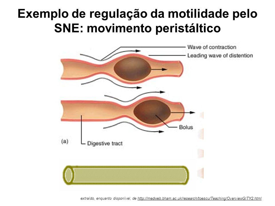 """Conceito clássico de inervação motora dos músculos do TGI. As varicosidades liberam o neurotransmissor próximo às céls. musculares As ICC´s seriam """"in"""