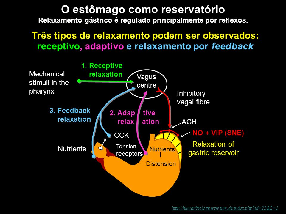 """Motilidade Gástrica: mistura (no corpo) e ondas peristálticas (desde o corpo e antro até o piloro (""""bomba pilórica"""") Digestive SystemDigestive System"""