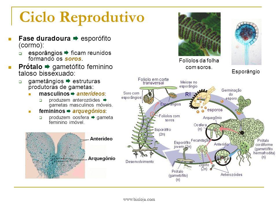 www.bioloja.com Ciclo Reprodutivo Fase duradoura  esporófito (cormo):  esporângios  esporângios  ficam reunidos formando os soros. Prótalo  gamet