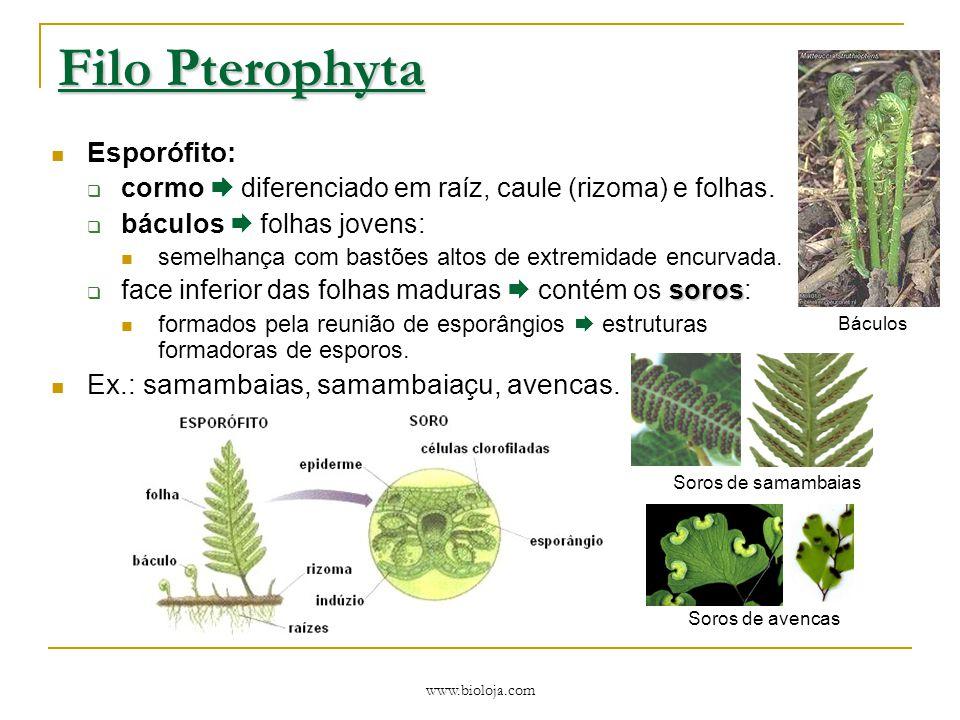 www.bioloja.com Filo Pterophyta Esporófito:  cormo  diferenciado em raíz, caule (rizoma) e folhas.  báculos  folhas jovens: semelhança com bastões