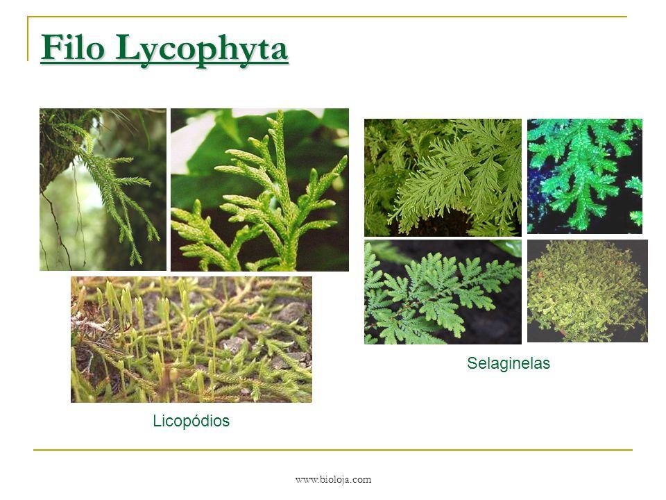 www.bioloja.com Filo Lycophyta Licopódios Selaginelas