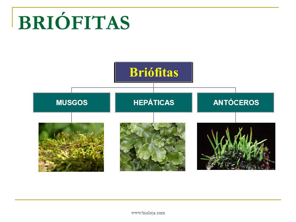 www.bioloja.com BRIÓFITAS Pequenas plantas folhosas ou talosas (achatadas) que crescem freqüentemente em locais úmidos nas florestas temperadas e tropicais e ao longo de cursos d'água ou terras úmidas.