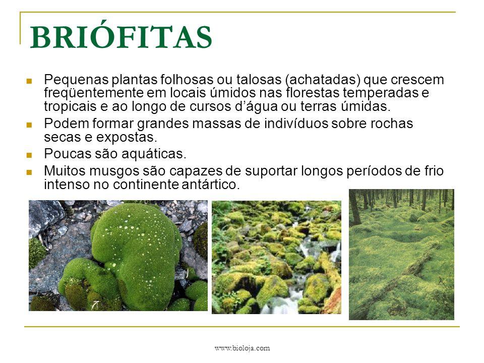 www.bioloja.com BRIÓFITAS Pequenas plantas folhosas ou talosas (achatadas) que crescem freqüentemente em locais úmidos nas florestas temperadas e trop